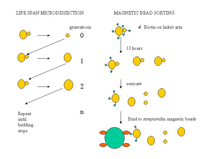 Aging in Saccharomyces cerevisiae